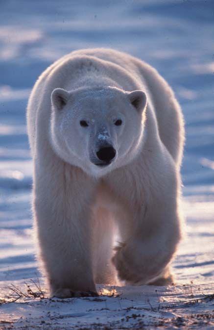 L'ours blanc : le maître du grand nord affiche